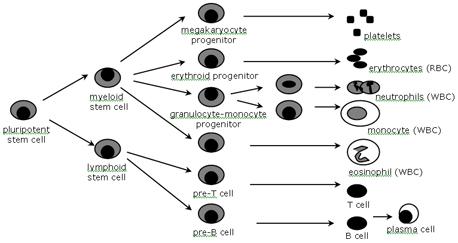 細胞の成熟とは何ですか?
