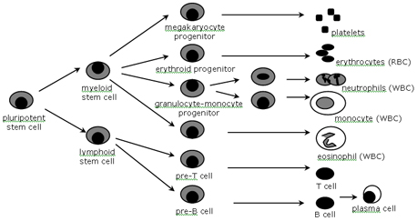 Stem Cell Maturation Diagram