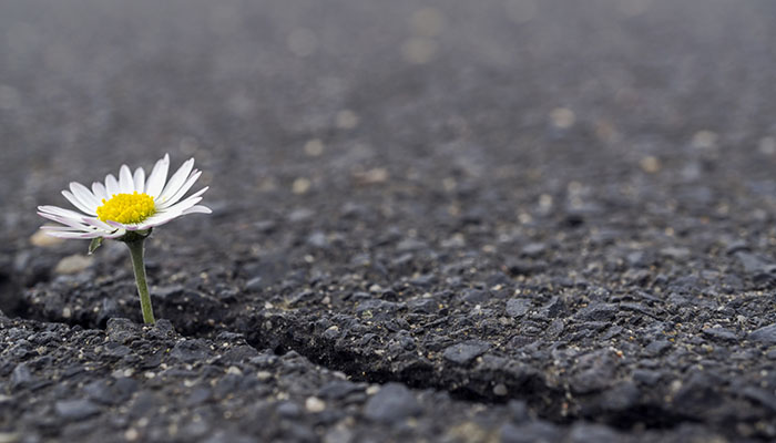 A Daisy Growing in Asphalt - Symbol of Hope