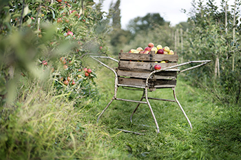 wagon of fresh-picked apples