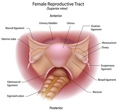Reproductive Tract