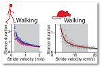Image Graph of the Neurobiology of walking and circuit mechanisms underlying gait disorders